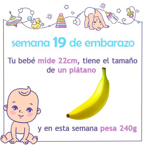 semana 19 de embarazo medida tamaño peso